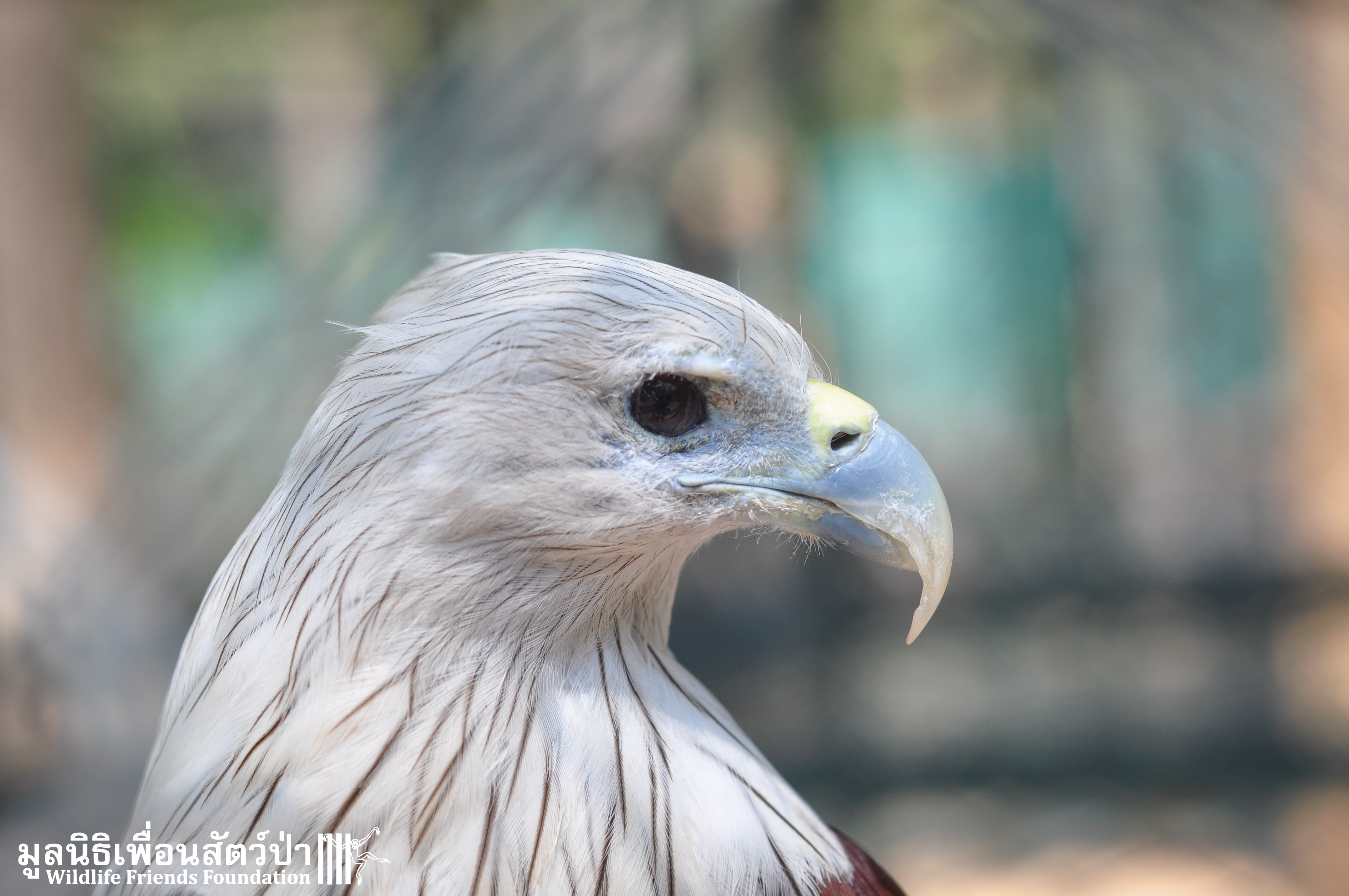 Ex-pet Brahminy Kite Brought Into WFFT