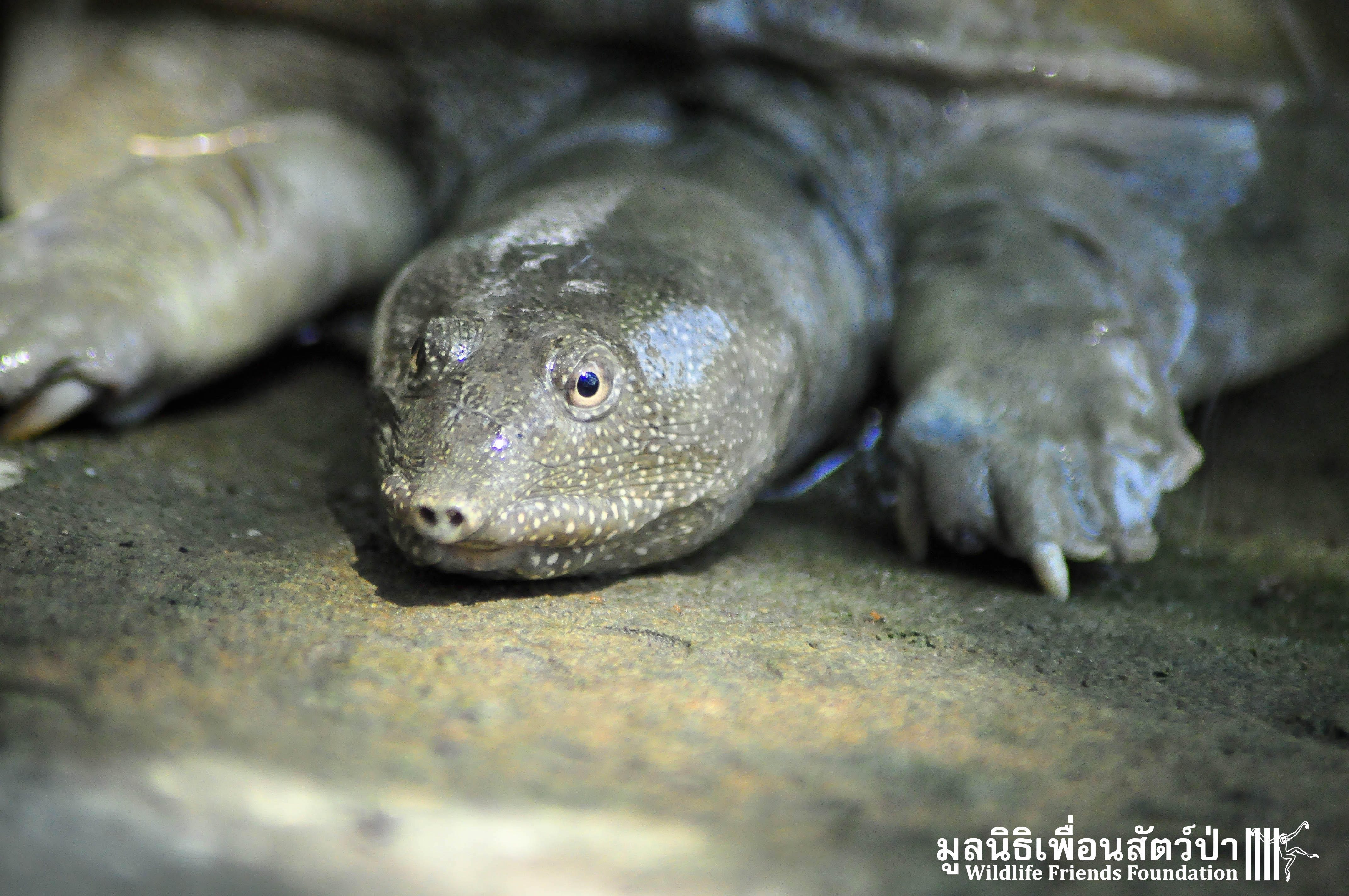 Asiatic Soft Shell Turtle Rescued