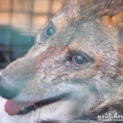 Rouge Asiatic Golden Jackal Rescued