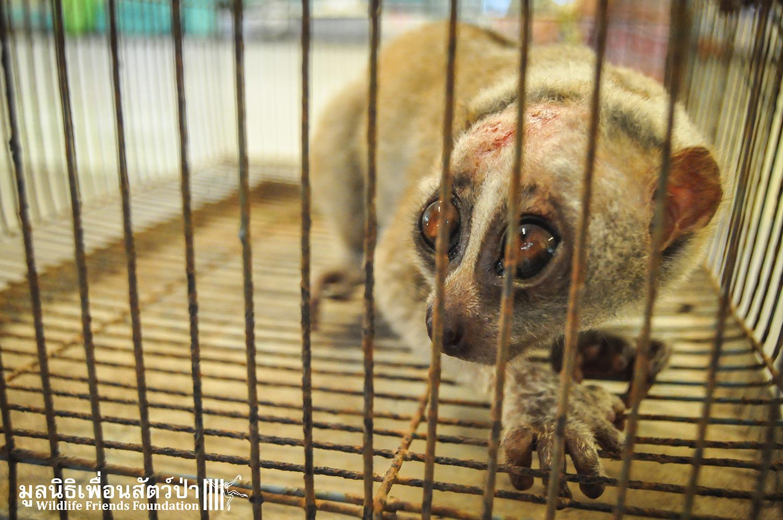 Loris Rescue Wild Blad 020416 06 Sm