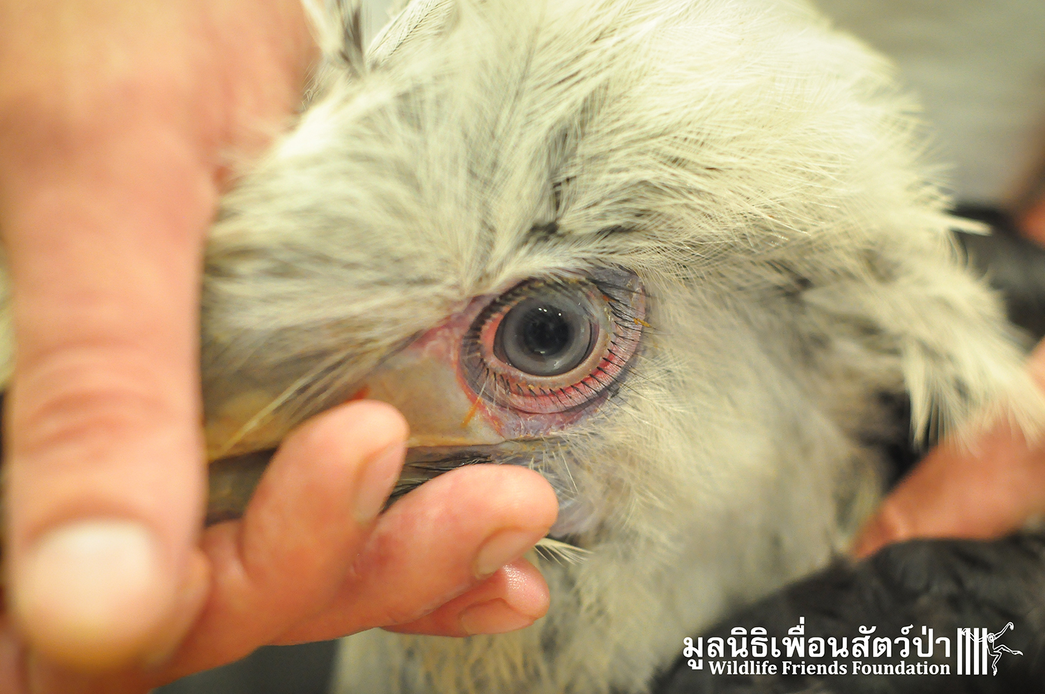 White-crowned Hornbill And 2 Slow Loris Rescued