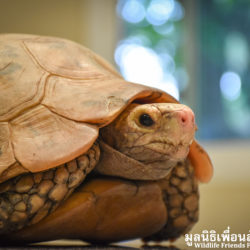Eric The Elongated Tortoise Rescued