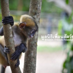 Sickly Baby Langur Arrives At WFFT For Treatment