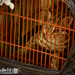 Another Unwanted Pet Leopard Cat – Two In A Week