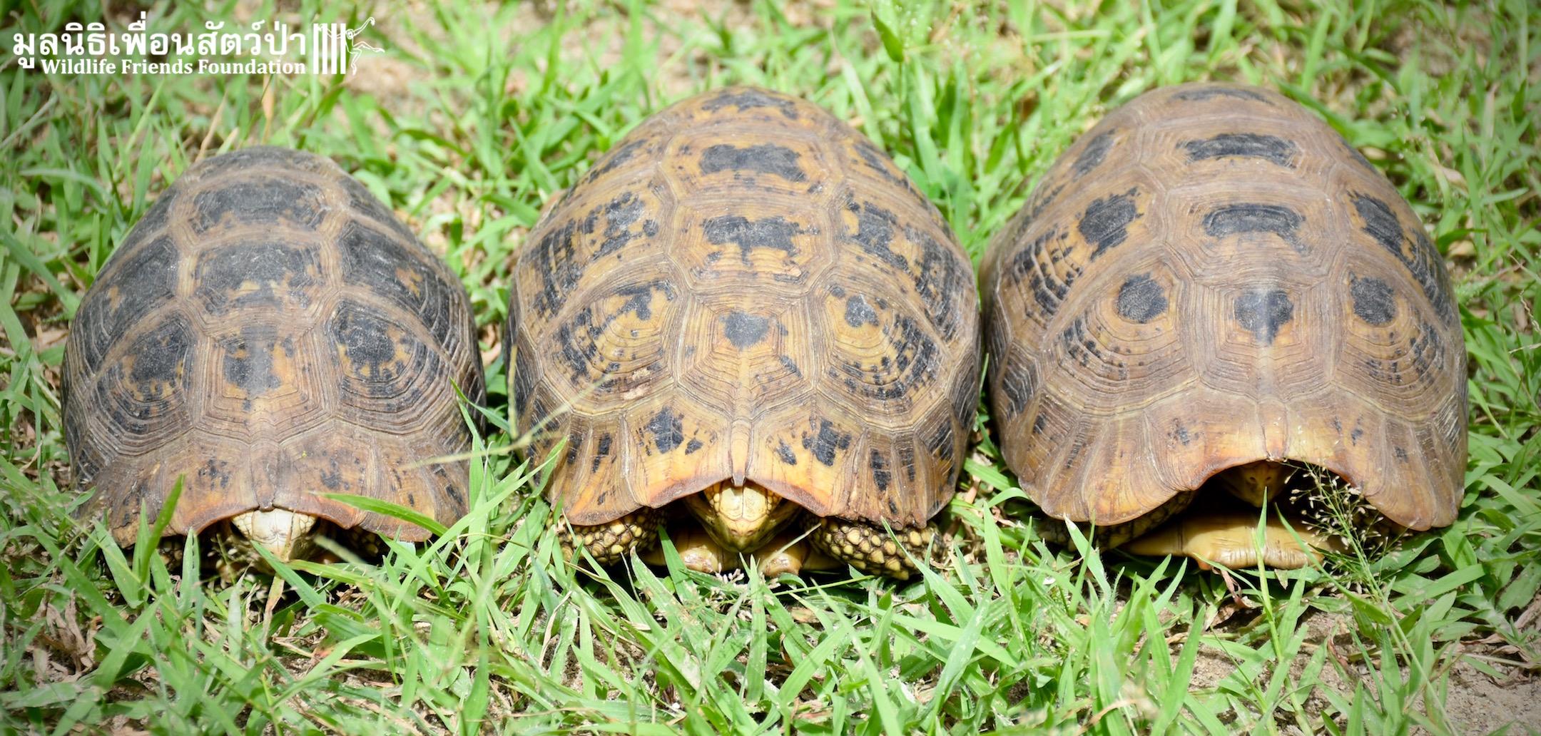 Endangered Elongated Tortoises Rescued