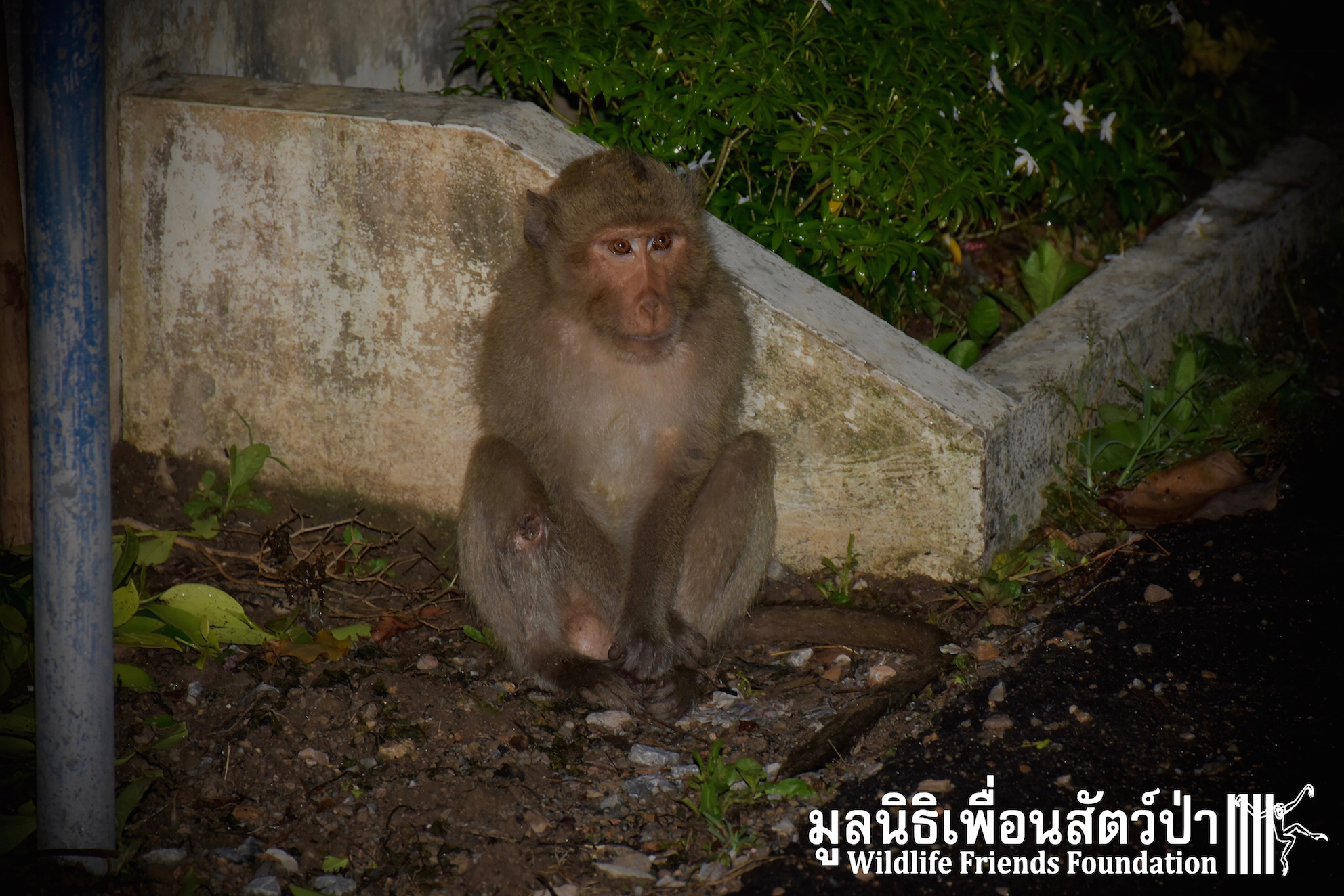 Wild Long-tailed Macaque Rescue
