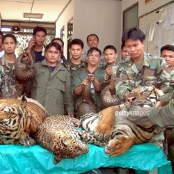 "The Illegal Tiger Trade And ""Diving Tigers"""