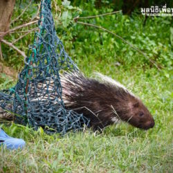 Update – Rescued Porcupines Move To A New Home!!!
