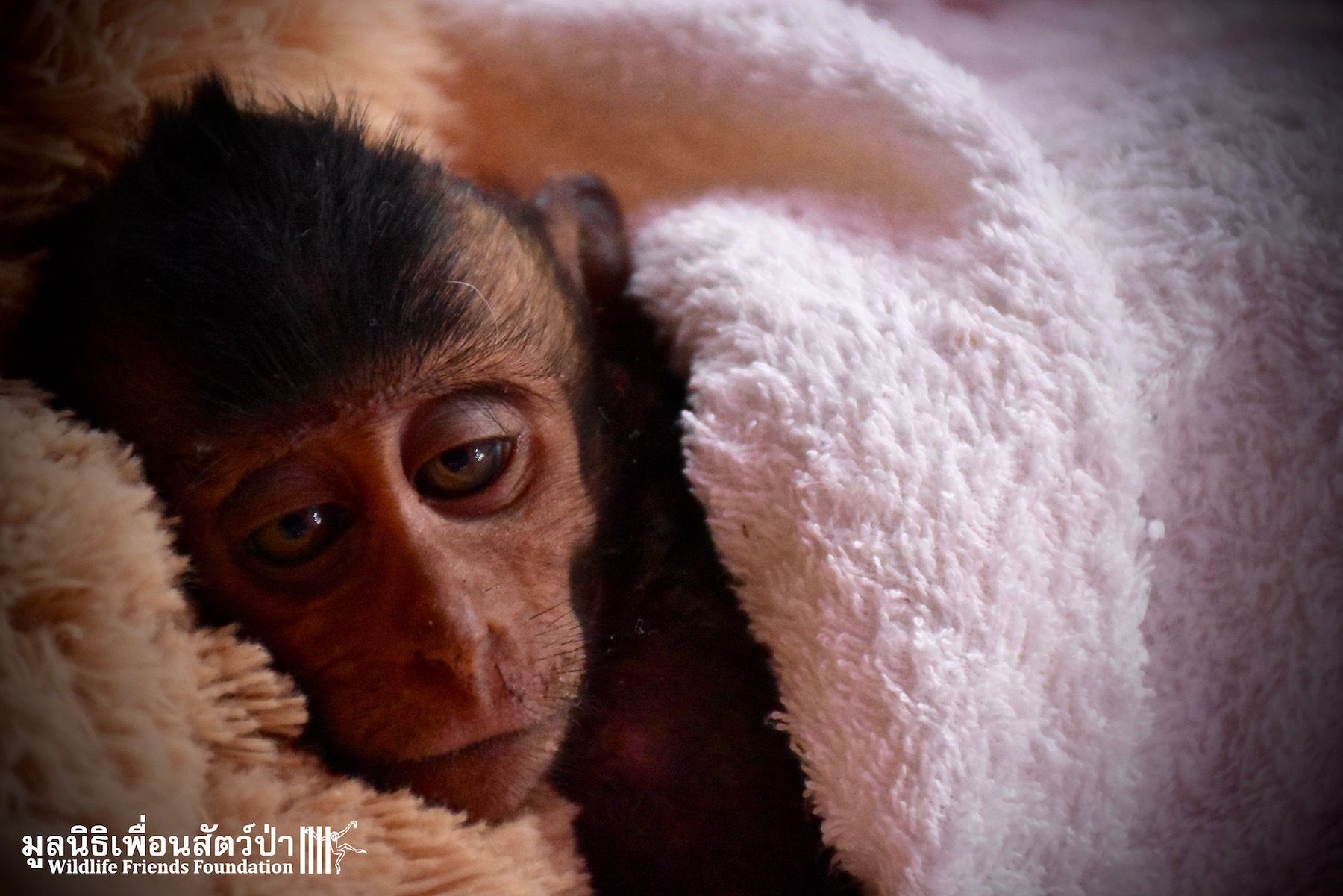 Injured Infant Macaque 'Hope' In A Critical Condition