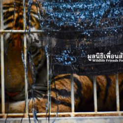 CONSERVATION GROUPS WELCOMED INTENTION OF LAOS TO PHASE OUT TIGER FARMS