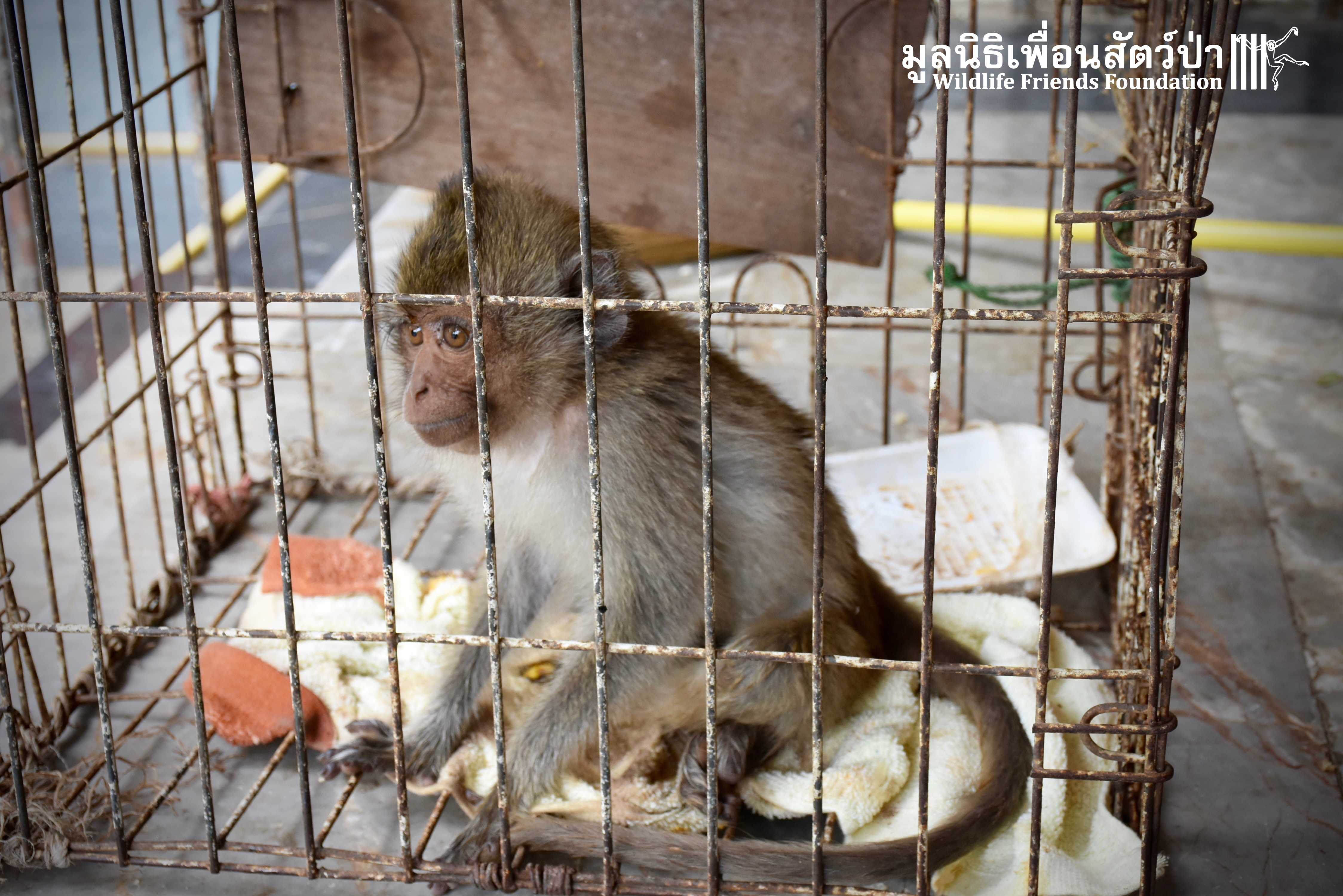 Severely Injured Dog Attack Long-Tailed Macaque Rescued