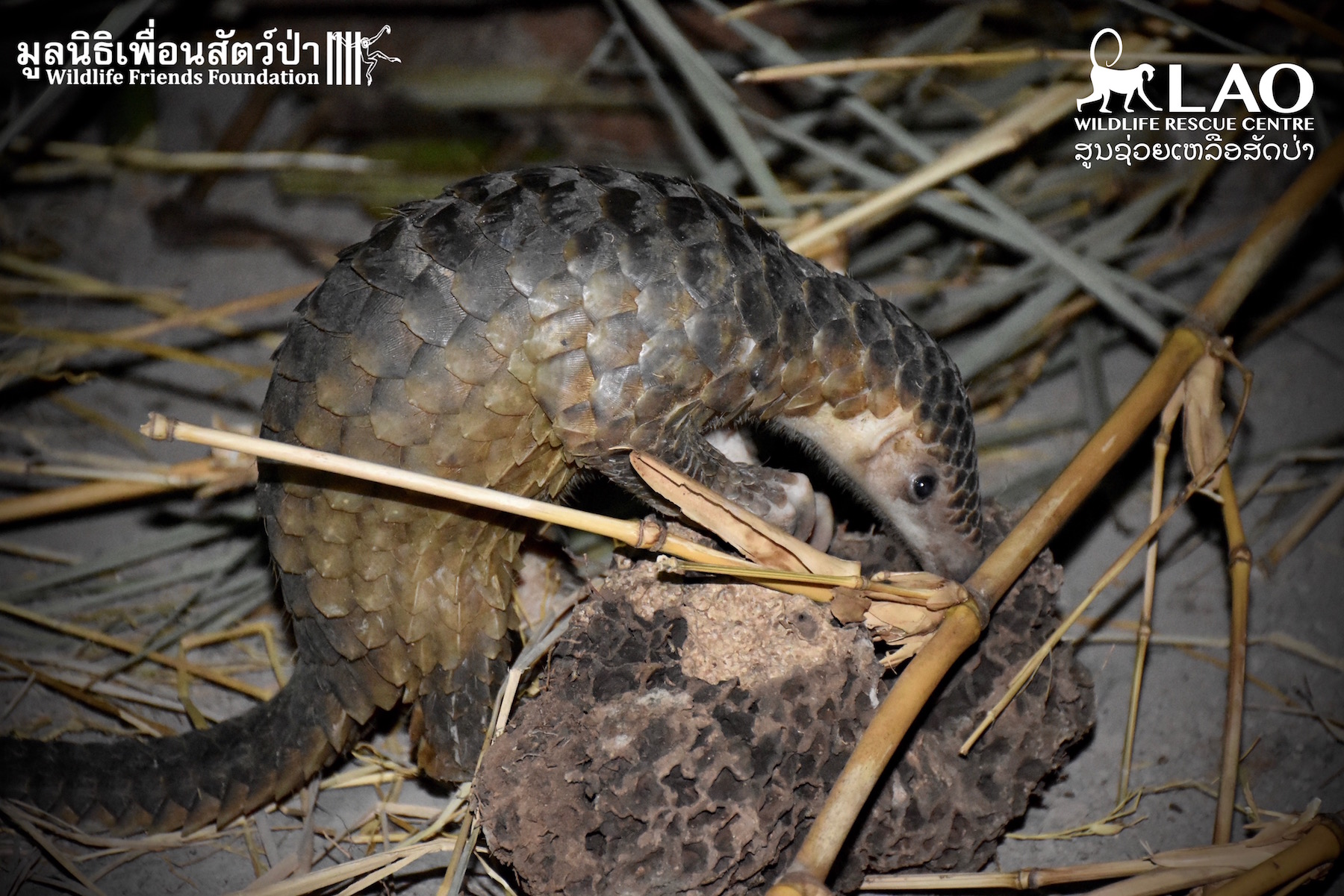 Pangolin Confiscation Update – Day 2