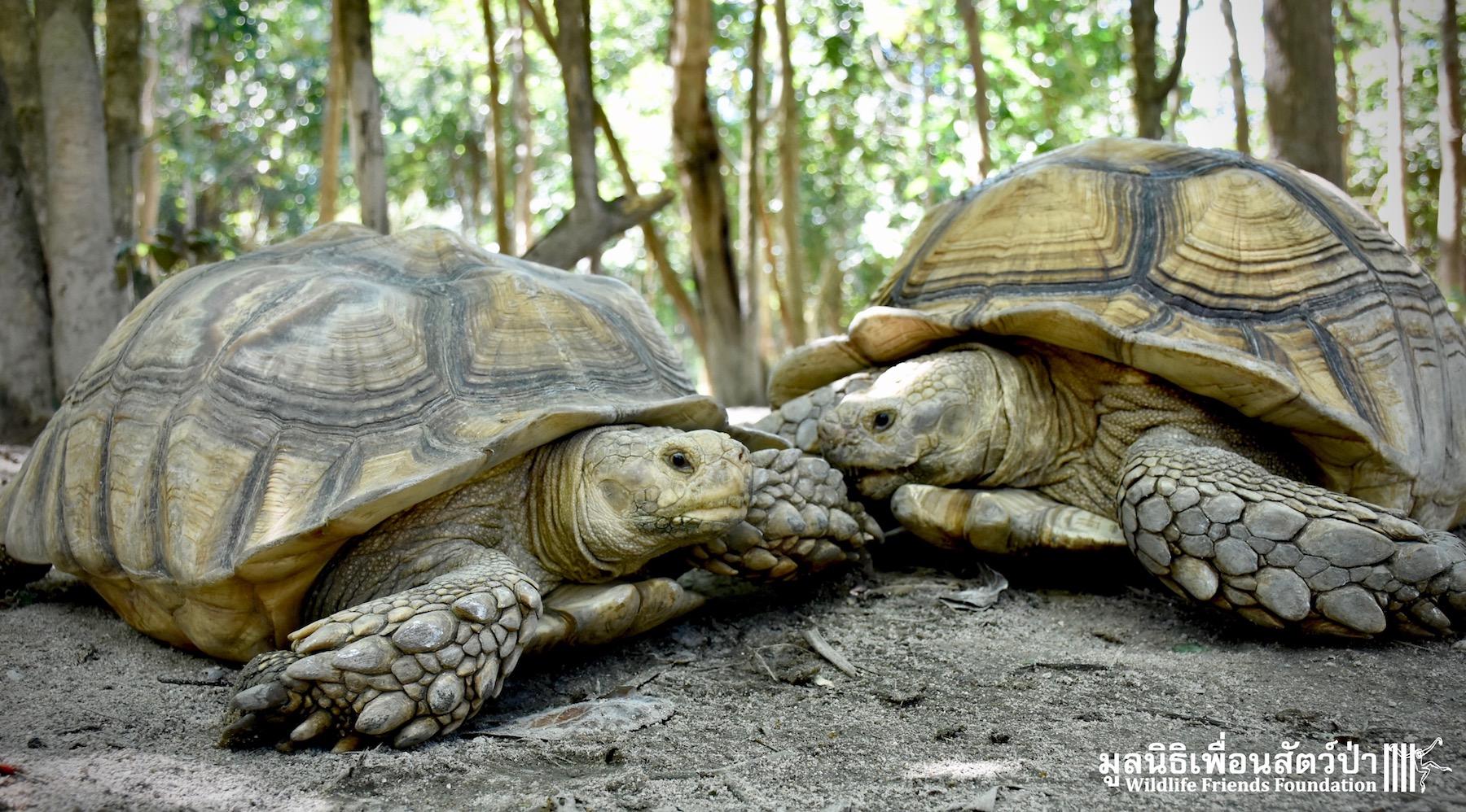 Ex-pet African Spurred Tortoises Arrive - Wildlife Friends ...