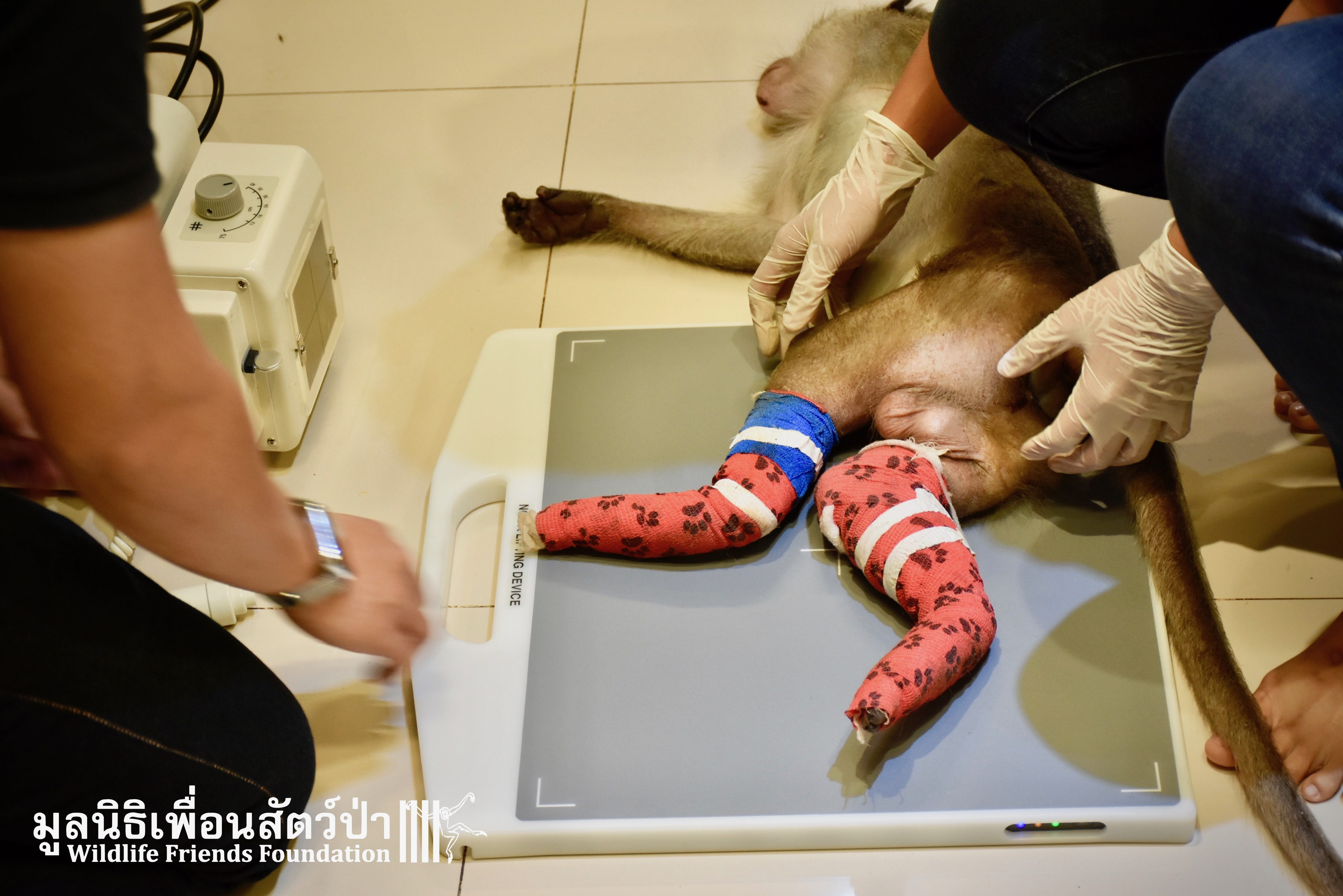 A Severely Injured Macaque Arrives at WFFT Wildlife Hospital for
