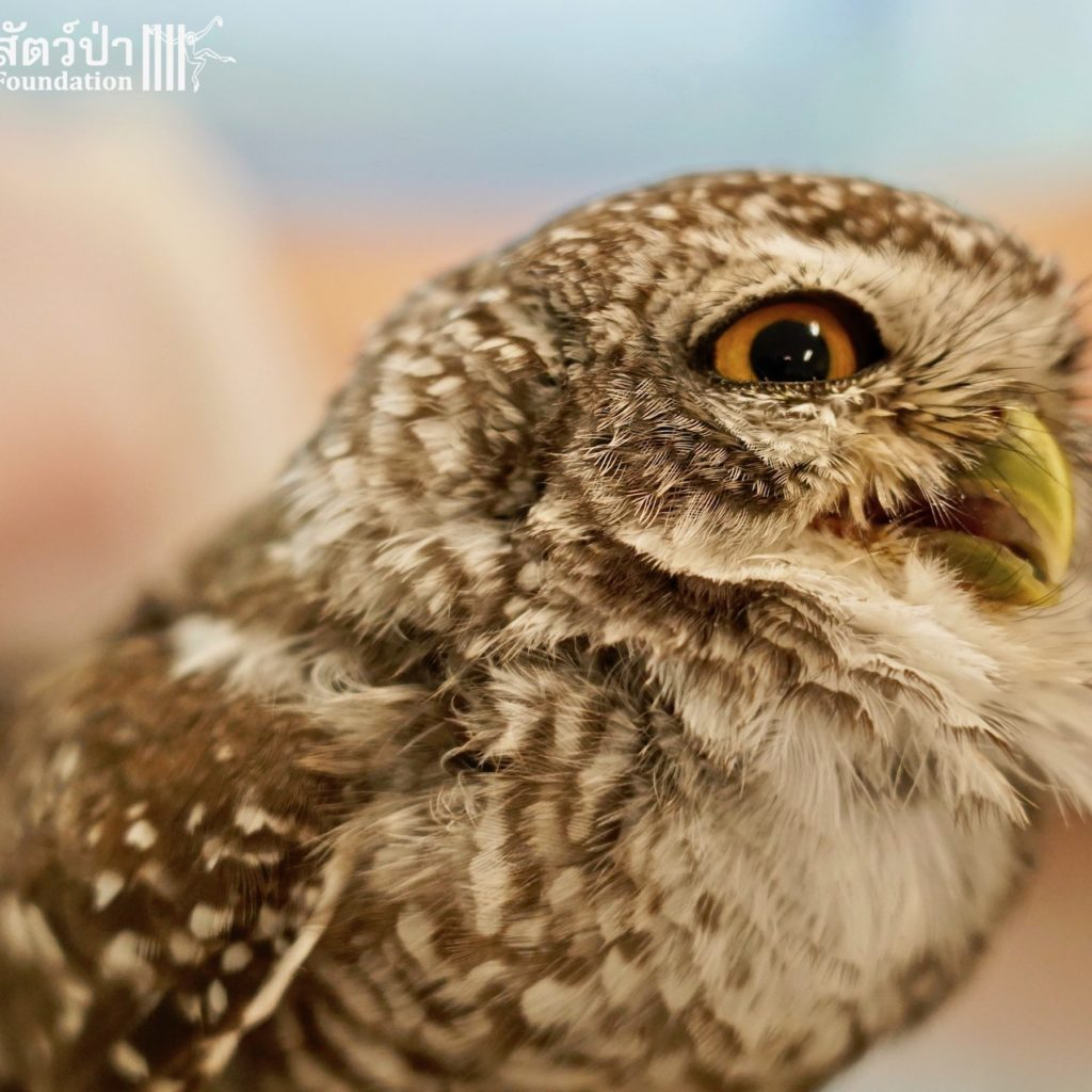 Releasing Owlet Cuties