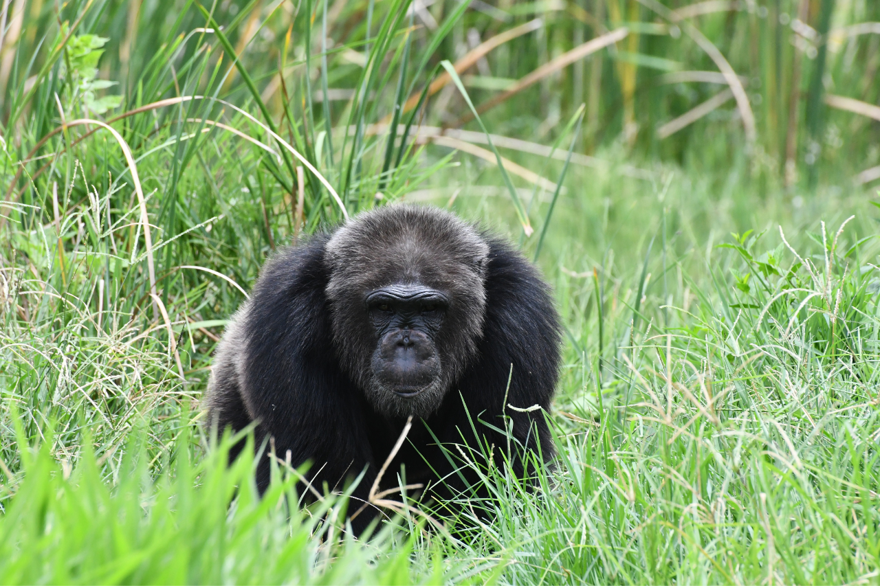 Chimpanzee Canoe