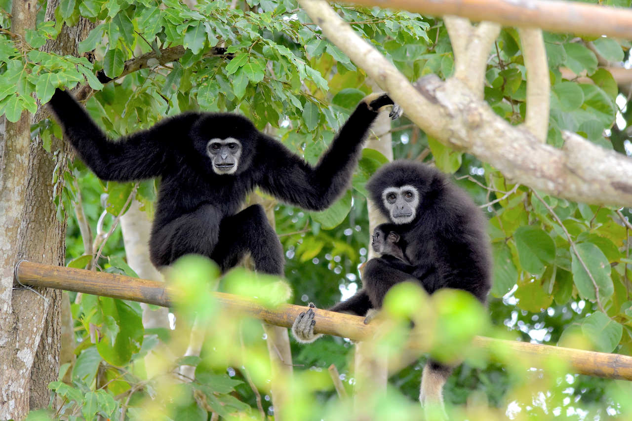 Gibbons In Trees