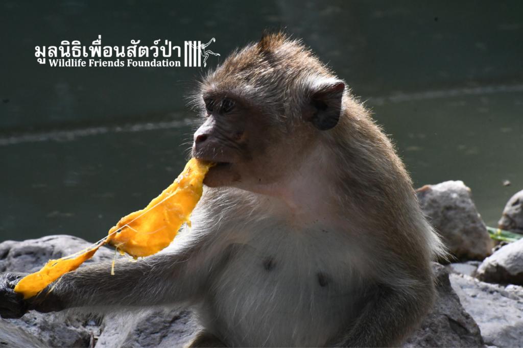 Jaiboon, Long-tailed Macaque