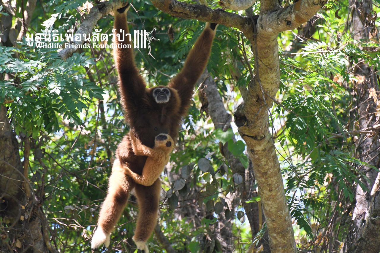 Gibbon Island Release 2021