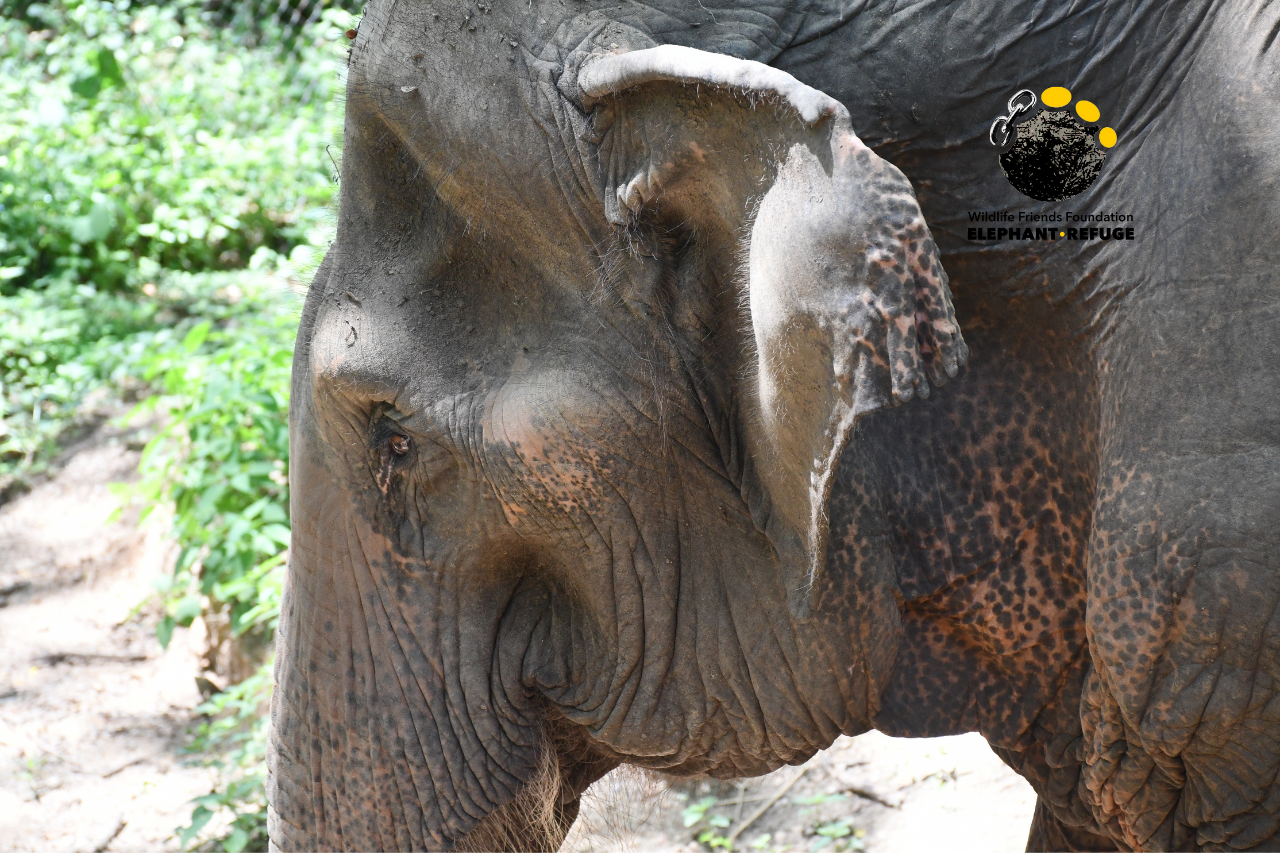 Pai Lin - Rescued Elephant