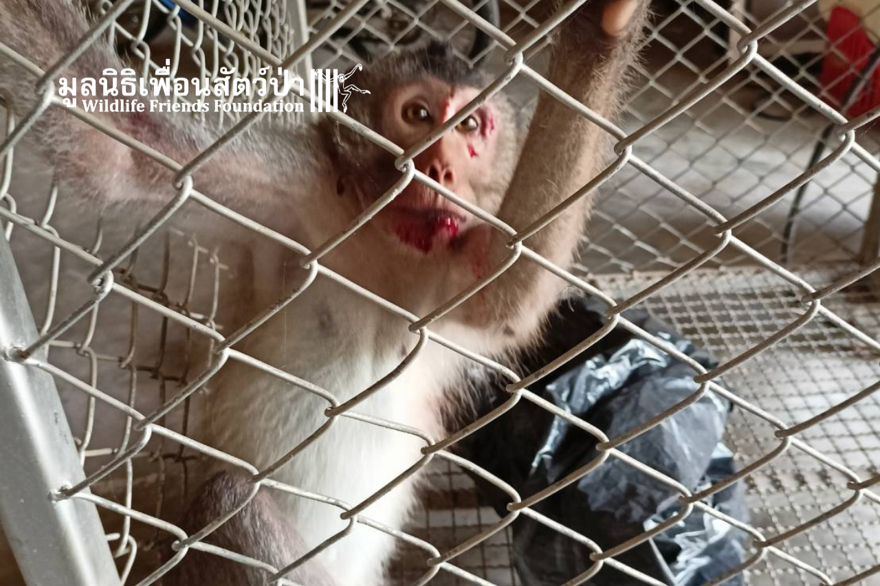 Mickey, Injured Long-tailed Macaque