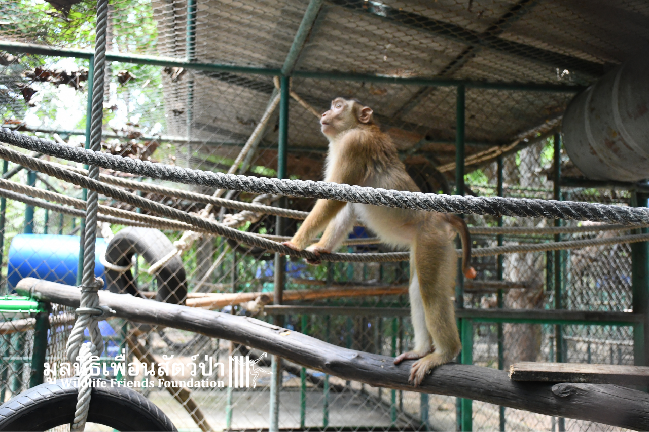 Chaba, Southern Pig-tailed Macaque