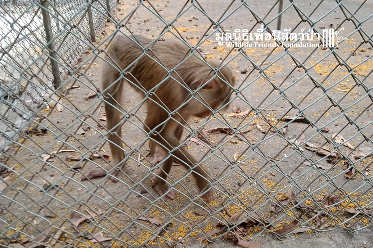 Macaque In Need Of Rescue