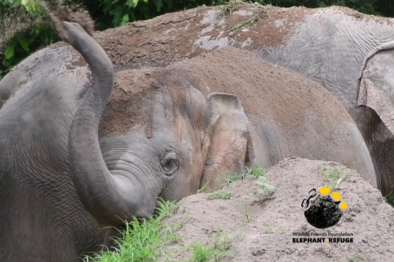 Mud-slinging With Elephant, Pin