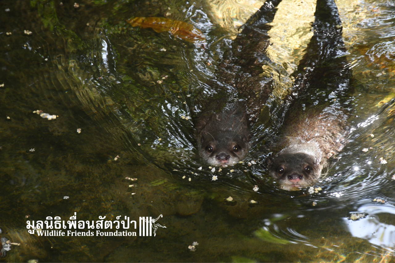 Sa And Mui - Rescued Otters