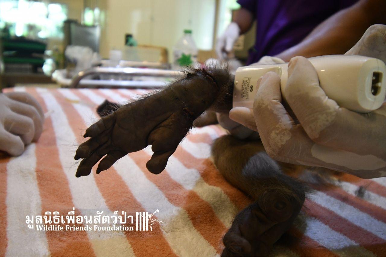 Injured Macaque, Jatoo