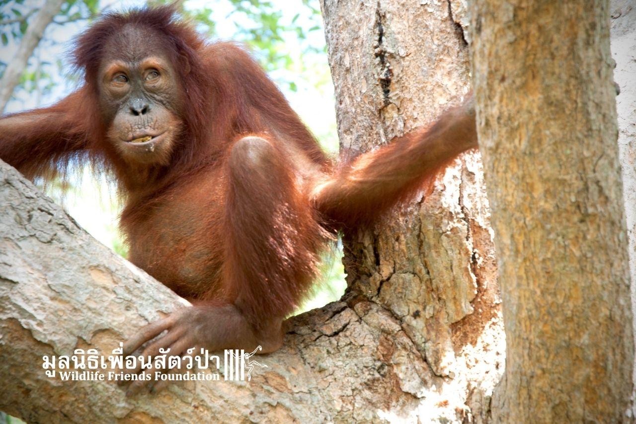 Orangutan, Maggie