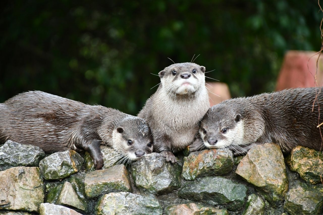 Rescued Otters