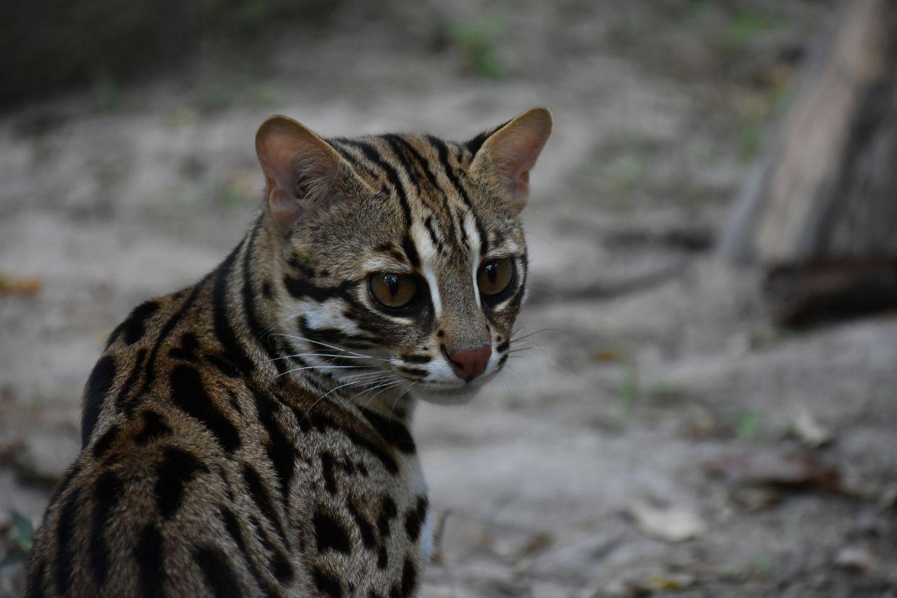 Rescued Leopard Cat