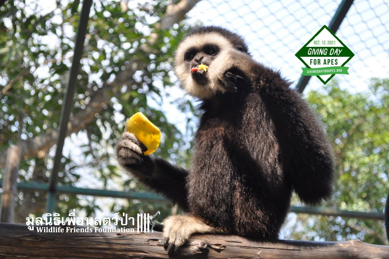 Chocolate Learning To Be A Gibbon