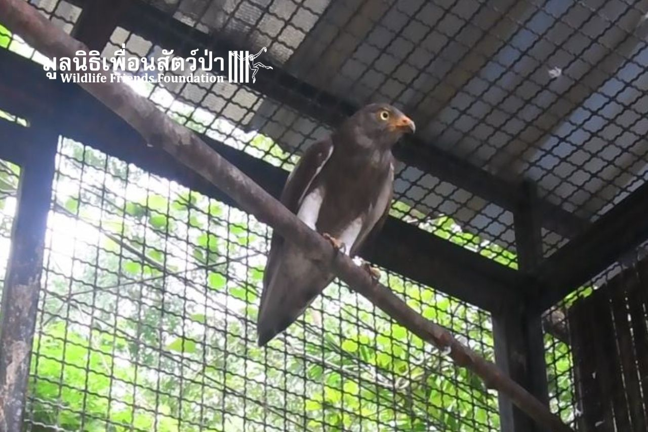 Rufous-winged Buzzard Getting The Care Needed At WFFT