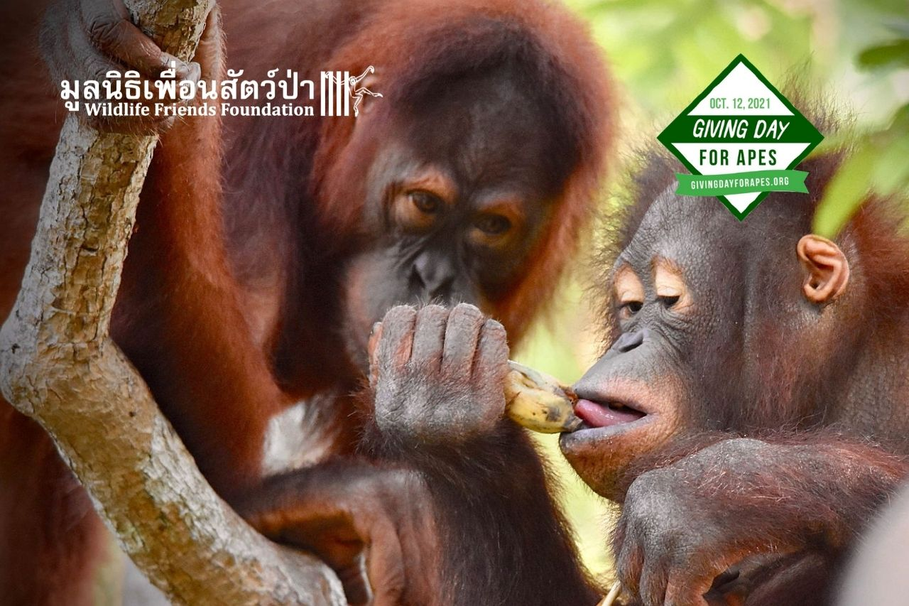 Orangutans, Maggie And Chico At WFFT